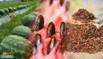 Karpuz Çekirdeği Faydaları