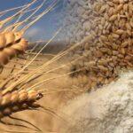 Kavılca buğdayı